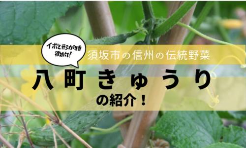 昔ながらのきゅうり「八町きゅうり」は須坂市の伝統野菜です!